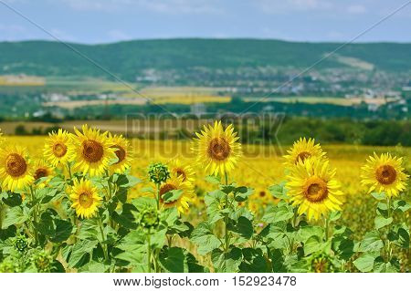 Ripe Yellow Sunflowers in front of Hillside