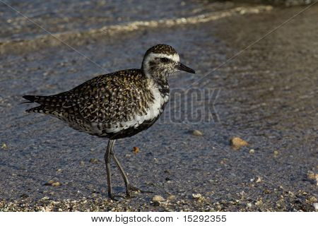 Pacific Golden Plover (Pluvialis fulva) in breeding colours on Magic Island beach Hawai'i USA poster