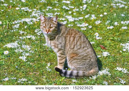 Cat on the Lawn among the White Flowers