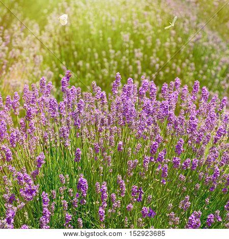 Shrub of Lavender Flowers in Prosenik Bulgaria