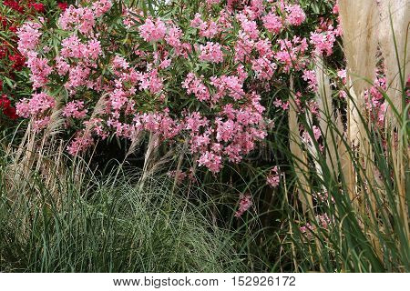 Flowering pink Oleander bush and tall grasses