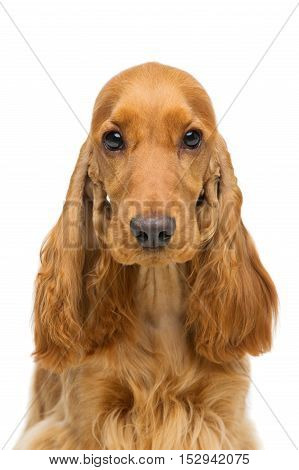 Portrait of beautiful young brown English cocker spaniel dog isolated over white background. Closeup studio shot. Copy space.