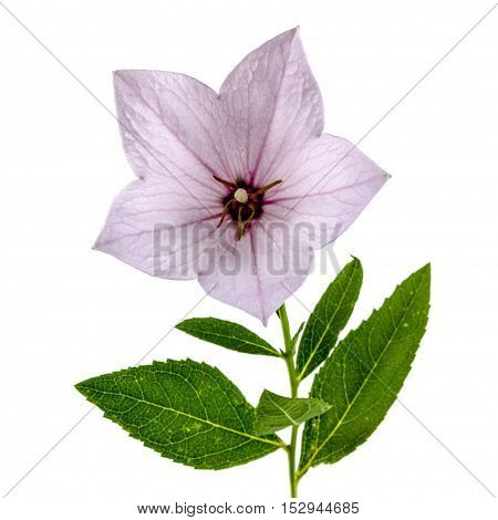 Pink flower of Platycodon (Platycodon grandiflorus) or bellflowers isolated on white background