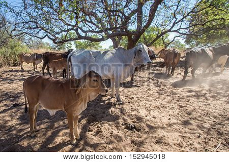 A Brahmin cow and calf take shelter in the shade of a tree on El Questro Station in the remote and rugged Kimberley Region of Western Australia.
