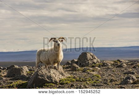 Sheep with horns and earmark in the volcanic mountains on Iceland.
