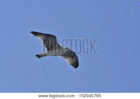Singel seagull against blue sky picture from Brac island in Croatia.
