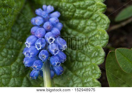 Spring flower. Violet flower close up. Mountain flower. Spring flowering meadows. Grape hyacinth.