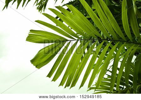 the palm leaf in isolate white background