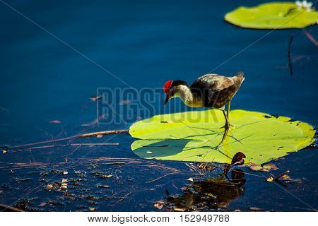 While lakeside in Kununurra I was delighted to see dozens of these little birds walking around on the lily pads. They don't stop on one pad for long as the pad commences to sink if the bird stands on it too long. This mother was catching small slugs
