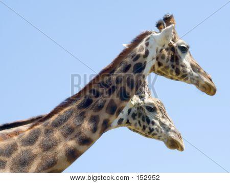 Two Headed Giraffe?
