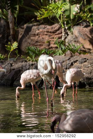 Nice pink big bird Greater Flamingo Phoenicopterus ruber
