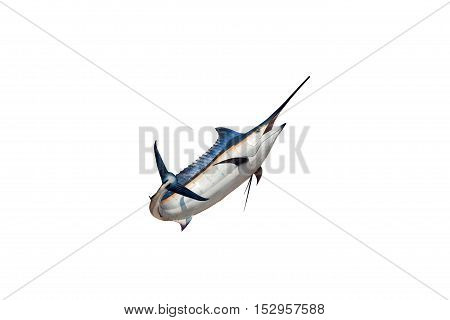 Marlin - Swordfish Sailfish saltwater fish (Istiophorus) isolated on white background