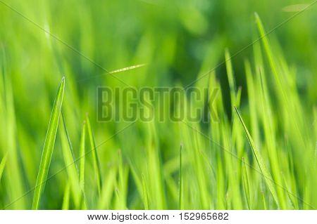 Blurred background of green grass. Green grass close up. Green grass through sun beams. Summer grass and web. Green background. Summer background.