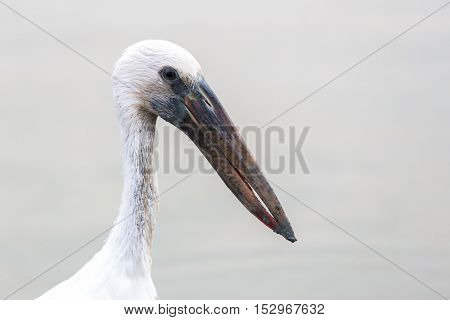Close focus on head and neck of white bird having a long beak called Asian Openbill or Open billed stork