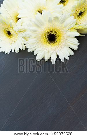 Cream fresh gerbera flowers border on dark wooden table close up