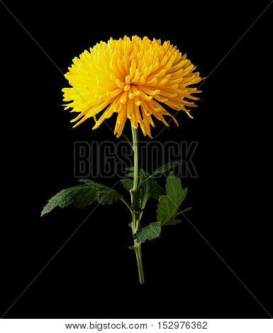 Chrysanthemum yellow flower side view isolated on black