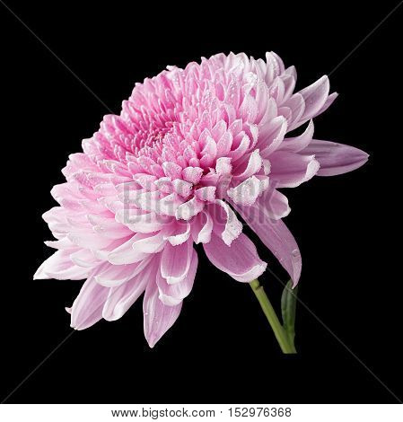 Chrysanthemum pink flower side view isolated on black