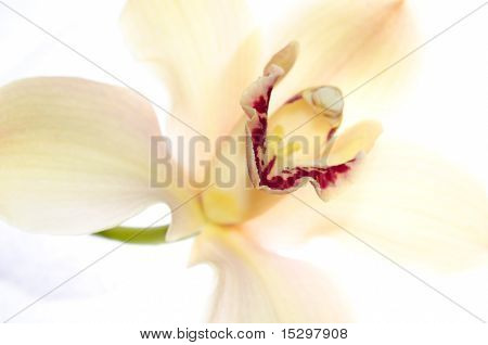 High Key Orchid Isolated