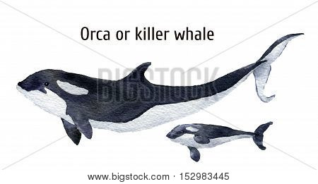 Watercolor orca whale. Killer whale isolated on white background. For design, prints, background, t-shirt.