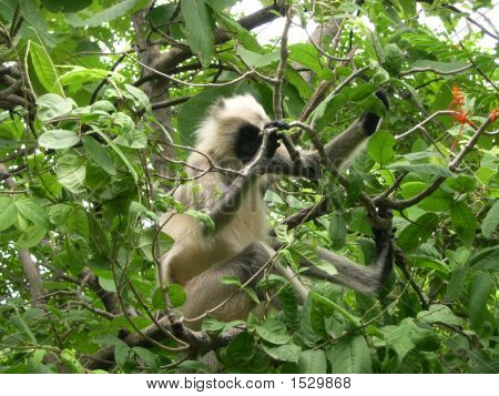 The Black Faced Monkey
