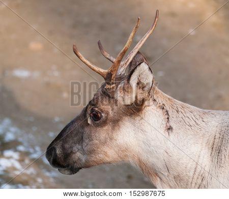 Portrait of Finnish forest reindeer - Rangifer tarandus fennicus