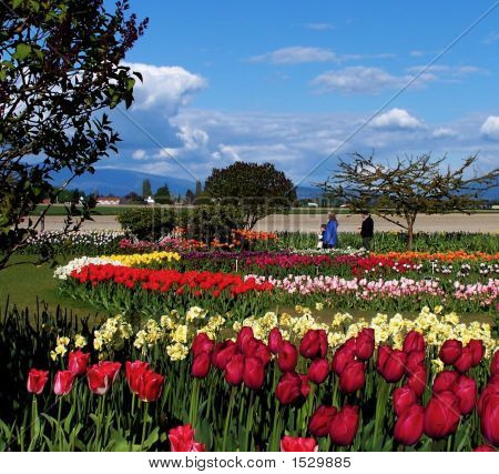 Beautiful Tulip Beds And Sky
