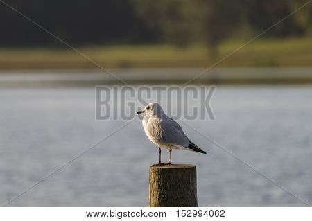 View on a beautiful relaxed Seagull (Laridae) on a wooden Pile. Close-up of a Seagull at the Lake. A Seagull in the Morning sits on a wooden Pile.