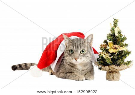 Beautiful gray kitten with Santa hat, on a white background