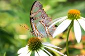 a multicolored butterfly perched on a daisy. poster