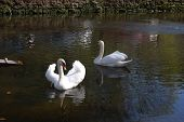 A view of two swans swimming on a pond near Trippstadt Germany. poster
