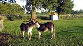 Donkeys/couple of farm animals. Donkey in farm/field. Donkeys standing together poster
