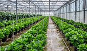 These new plants in this Hydrangea cut flower nursery produce the first flowers in next year. poster