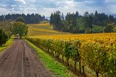 Oregon Vineyard in Willamette Valley. A picturesque view of a vineyard in Oregon show's that it's almost time to start harvesting the wine grapes in the fall season. poster