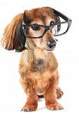 Smart dog. Longhair dachshund wearing glasses. poster