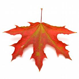Red leaf isolated on white background. Red. Flat. Maple.