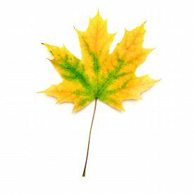 Yellow leaf isolated on white background. Autumn. Maple. Flat.