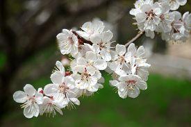 Flowering branch apricots. Flower. Spring. Flat. Tree.
