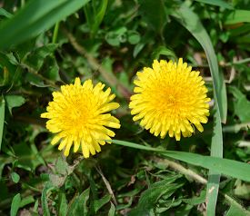 Yellow dandelions in the green grass. Flower. Yellow.