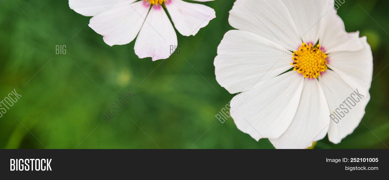 White flower yellow image photo free trial bigstock white flower with a yellow middle on a blurred green background banner mightylinksfo