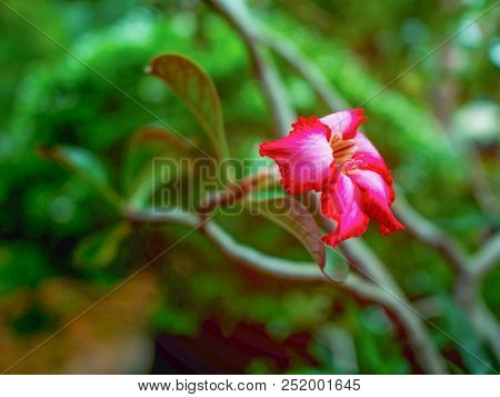 Close Up Desert Rose Flowers,flowers In The Park,red Flowers,adenium Obesum Desert Rose Flowers