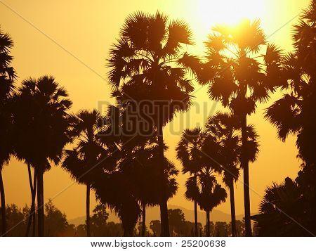 Siluette Of Sugar Palm Tree