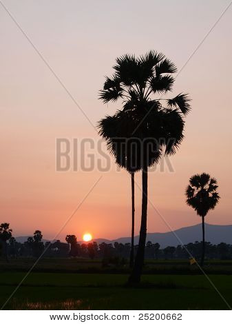 Siluette Of Sugar Palm Tree With Sun Set Background