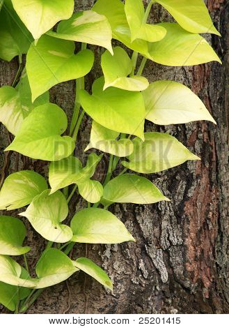 Pothos Foliage On Tree Bark