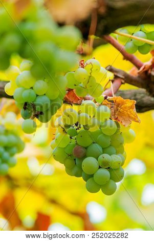 White Grape Vine Hanging On A Brunch. Close Up In Yellow Foliage