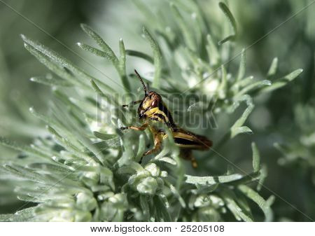 Black Striped Grasshopper