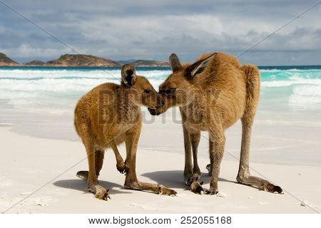 Kangaroos On Lucky Bay - Cape Le Grand National Park - Australia