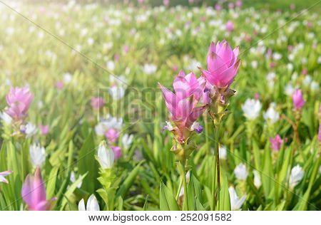 This Is  Siam Tulip Flower At Graden