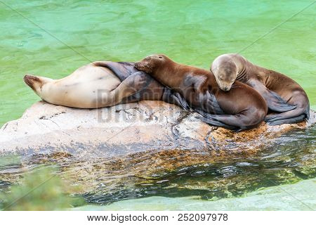 Three California Sea Lions (zalophus Californianus) Sleep On Each Other. Sea Lions Family Resting On