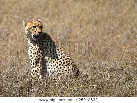 Cheetah In The Serengeti National Park