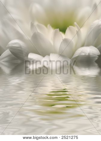 Chrysanthemum Reflection
